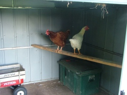 Chickens on the perch