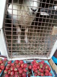 Lamb and strawberries
